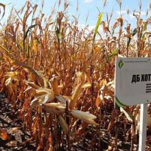 [:ru]Семена кукурузы Хотын[:ua]Насіння кукурудзи Хотин[:]