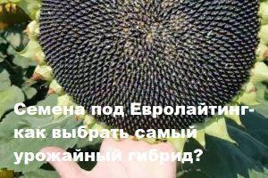 Семена подсолнечника под Евролайтнинг – как выбрать подходящий гибрид?