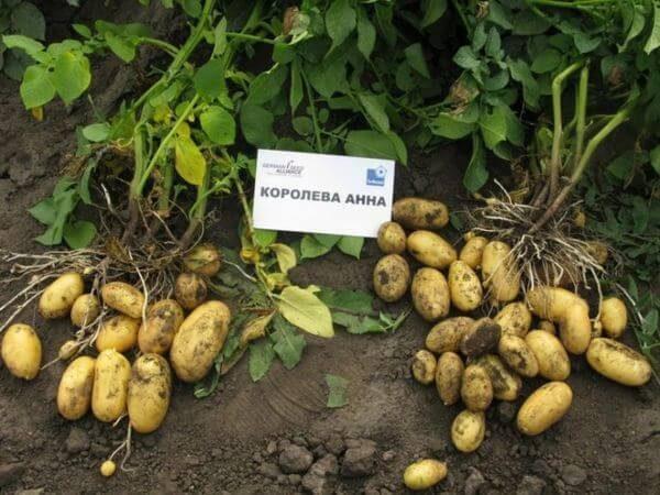 Семенной картофель Королева Анна