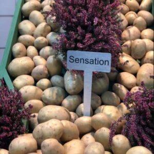 Насіннєва картопля Сенсейшн