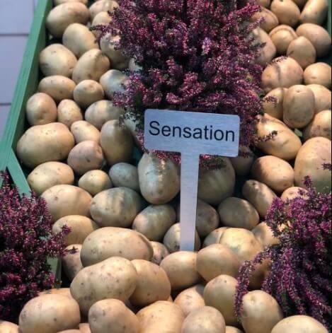 Семенной картофель Сенсейшн