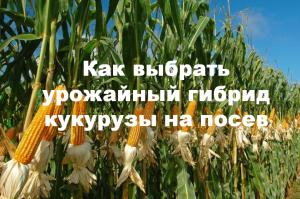 Как выбрать хорошие семена кукурузы на посев?