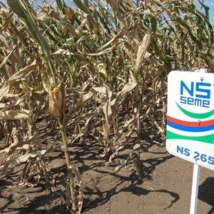 Семена кукурузы НС 2652