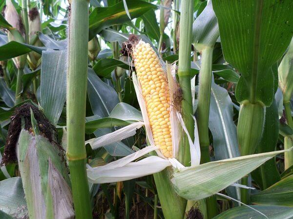 Семена кукурузы НС 3030