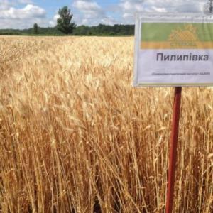Семена озимой пшеницы Пилиповка
